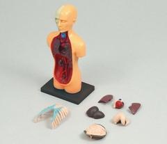 解剖模型.JPG