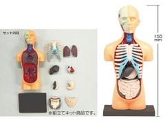 胴体解剖模型.JPG
