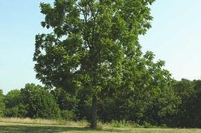 walnut_2.jpg